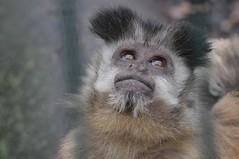 Gehaubter Kapuziner im Tiergarten Mönchengladbach