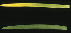 Nitrogen deficiency in wheat