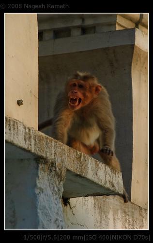 Aggressive Monkey | Kaivara