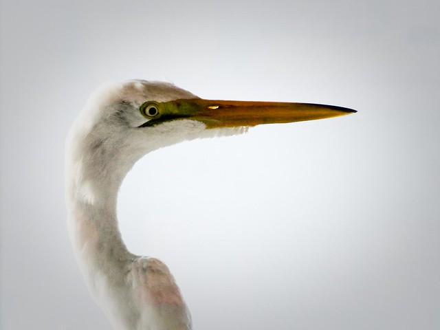 Egret, by Bob Pagel