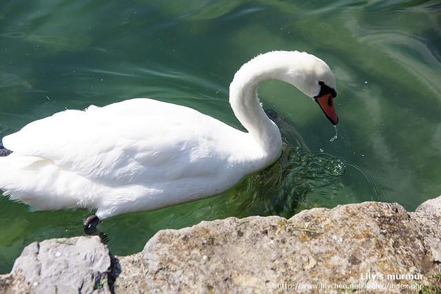 姿態優雅美麗的天鵝,連喝水都那麼秀氣。