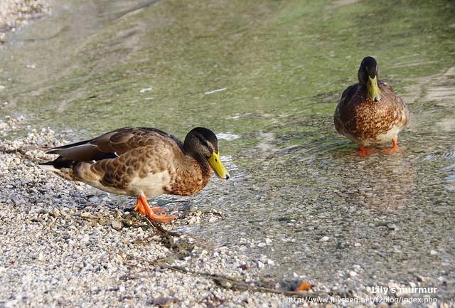 鴨子鴨子!!尼說我看起來就一副很俗的樣子,好像這輩子沒見過鴨子一樣。哎唷,那是因為牠們太可愛了啦。