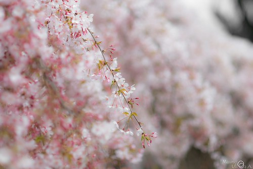 Sakura Season.