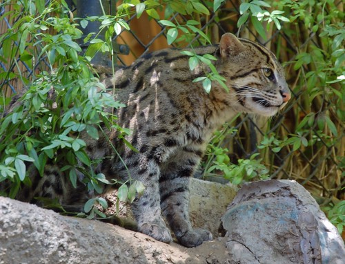 A Fishing Cat Surveys his Domain