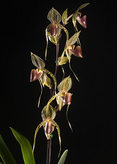 Paph. David Ott 'Elizabethh' AM HOS