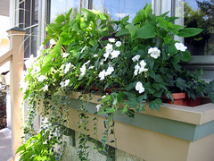 Windowboxes in August