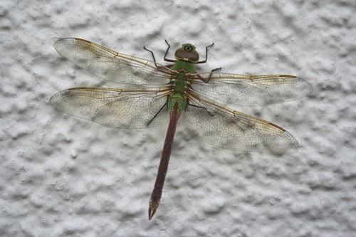 20100817_dragonfly2.jpg