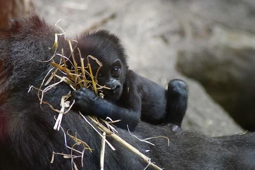 Westlicher Flachlandgorilla Gasira im Kölner Zoo