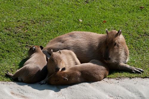 Wasserschwein Maggy mit ihrem Nachwuchs im Kölner Zoo