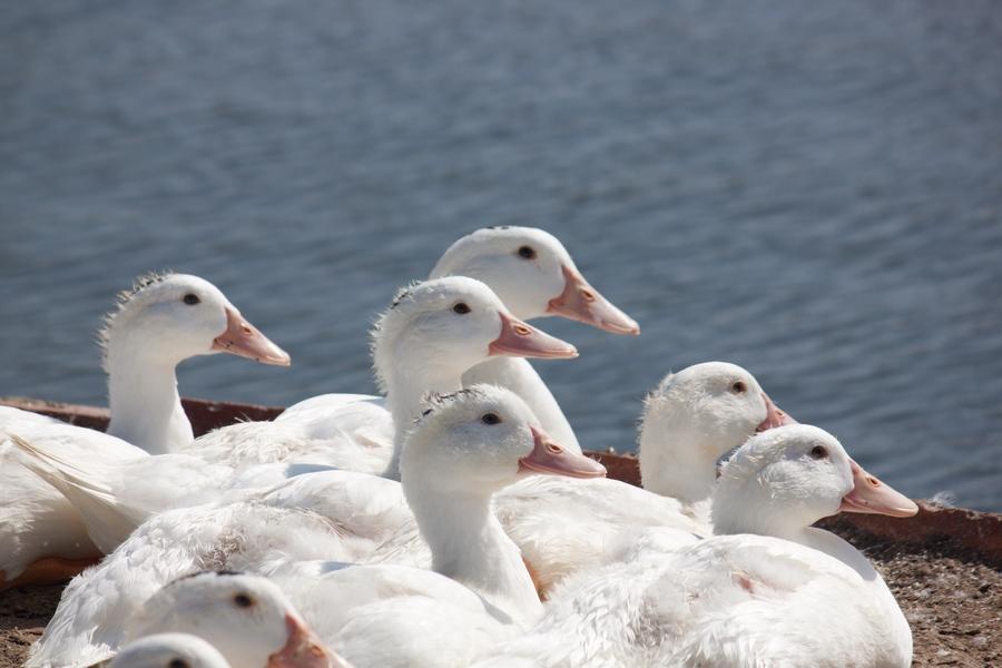 20110205_04_Beautiful Duckling_08