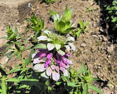 mint flowers 20100630_9