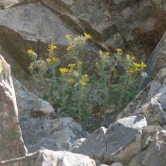 flowers amid rock, bear butte, south dakota