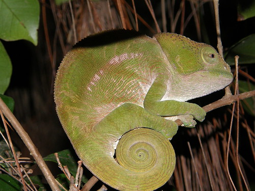 Camaleón de Parson (Calumma parsonii)