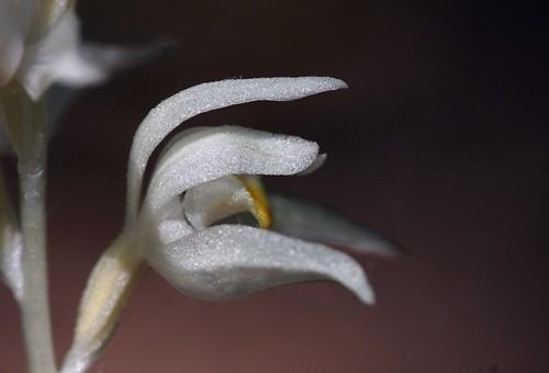 Cephalanthera austiniae bloom close-up