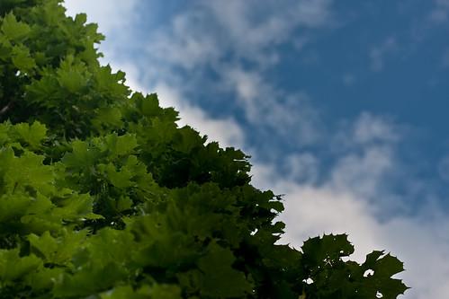 {195/365} maple tree