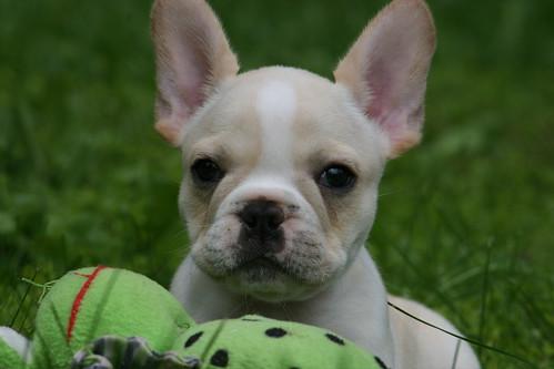 Hammy the French Bulldog Puppy