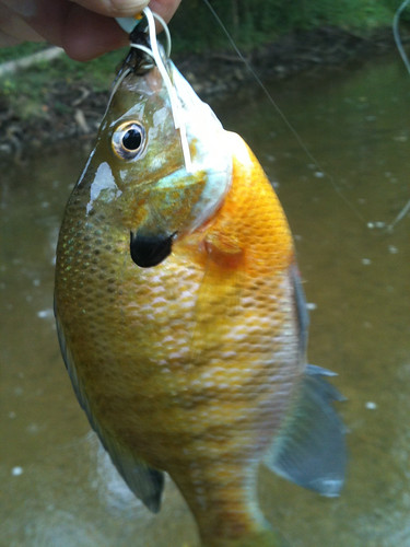 Bigger sun fish