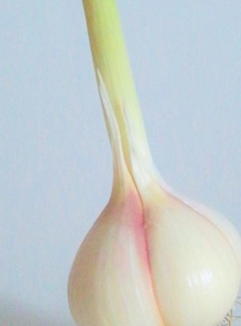 macro still life green garlic bulb from csa