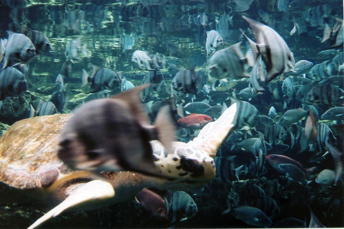 georgia-aquarium loggerhead
