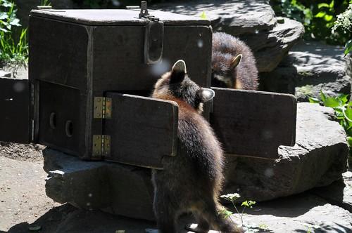 Waschbären im Kölner Zoo