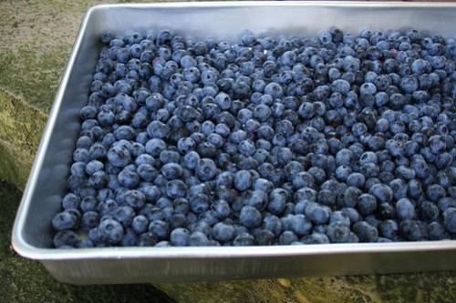 zekie_blueberries2