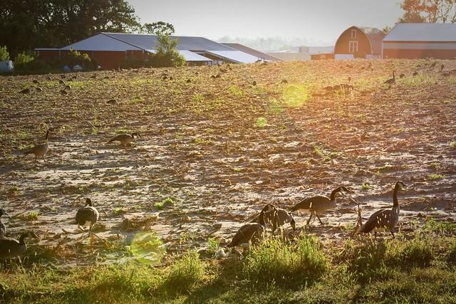 {239/365} goose farm