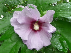 Rose of Sharon with raindrops