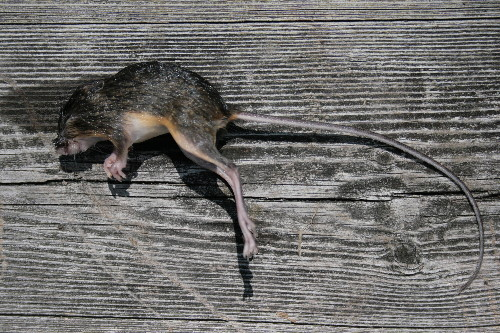 Meadow Jumping Mouse, Zapus hudsonius