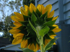 Sunflower Backside