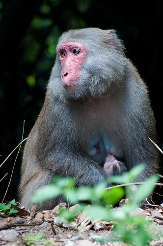 Formosan Rock Macaque