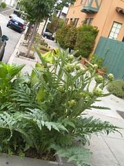 urban garden on hancock street, artichoke plant growing from the sidewalk