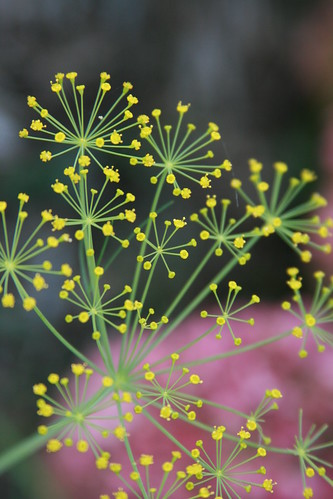 365-258 Dill Flowers