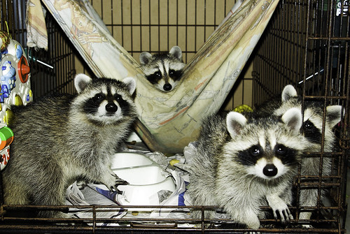 adolescent raccoons, group 2