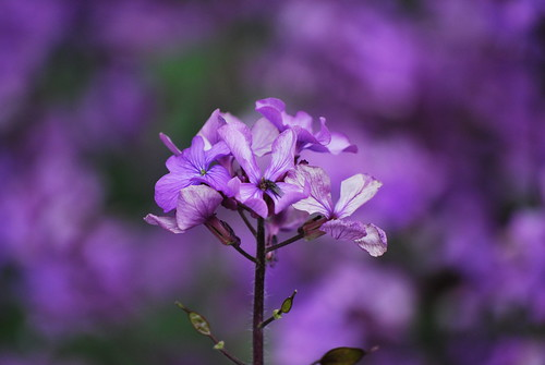 Honesty (Lunaria rediviva)