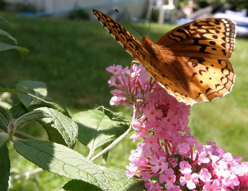 butterflycrop