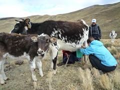 Sarah hilft beim Melken, Anden-Trekking