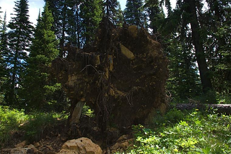 80 foot fir from beneath