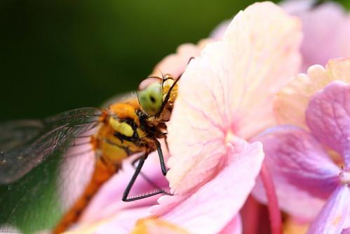 Dragonfly hydrangea