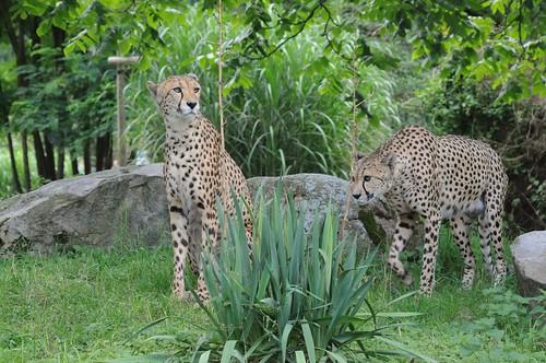 Geparden Nelson und Matata im Kölner Zoo