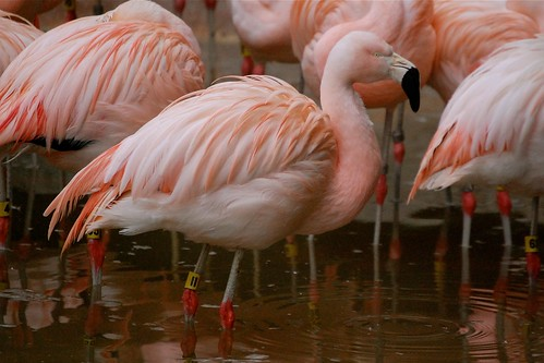 Wet Flamingo