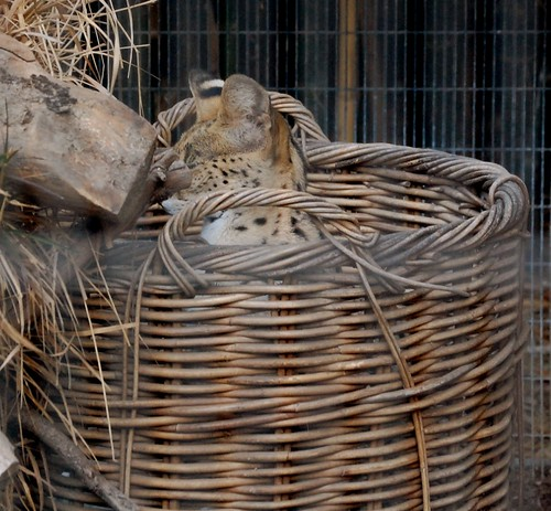 Servals Like Baskets