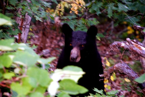 Shenandoah Mother Black Bear