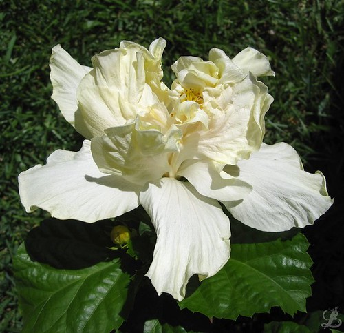 White Double Bloom Hibiscus