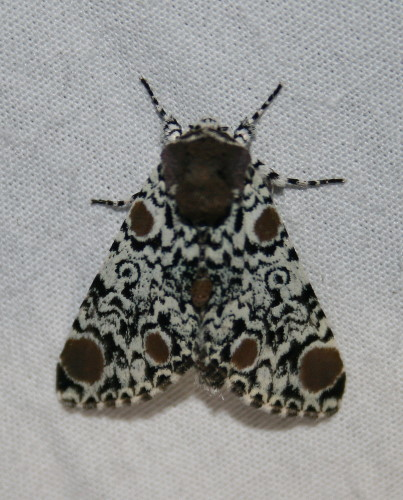 Harris's Three-spot
