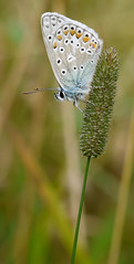 Common Blue Butterfly by gmajsicmtc, on Flickr