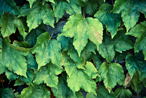 Green Wall of Leaves