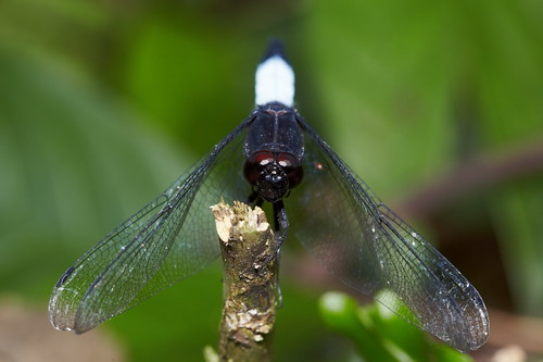 Orthetrum triangulare 鼎脈蜻蜓