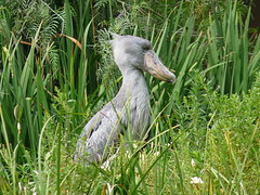 Shoebill in profile