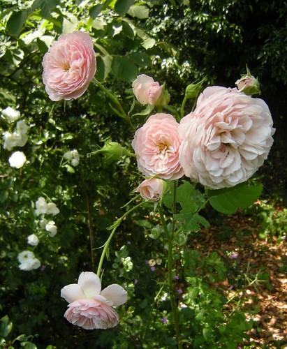 Blaßrosa Rosen