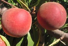 Yukon King White Peaches